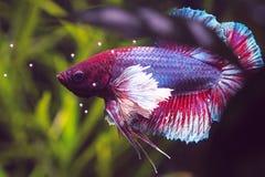 Красочные рыбы Betta уха Dumbo стоковое фото rf