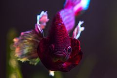 Красочные рыбы Betta уха Dumbo стоковые изображения