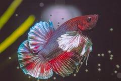 Красочные рыбы Betta уха Dumbo стоковая фотография rf