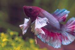 Красочные рыбы Betta уха Dumbo стоковые фотографии rf