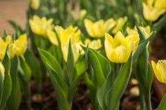 Красочные строки разнообразий цветка в тюльпане field Стоковое Изображение RF
