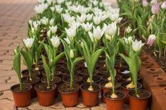 Красочные строки разнообразий цветка в тюльпане field Стоковые Изображения RF