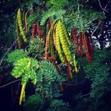 Красочные стручки фасоли дерева Mesquite Стоковое Изображение RF