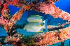 Красочные тропические рыбы на кораблекрушении Стоковое Изображение RF