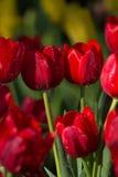 Красочные тюльпаны весны с водой брызга Стоковая Фотография RF