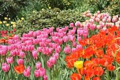 Красочные тюльпаны стоковые фото