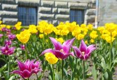 Красочные тюльпаны Стоковая Фотография