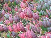 Красочные фиолетовые и красные листья падения осени Стоковые Изображения RF