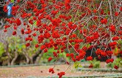 Красочные цветения дерева коралла с яркими красными цветками в парке Стоковые Изображения