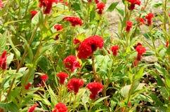 Красочные цветки в природе яркое cockscomb цветет красный цвет Стоковое Фото