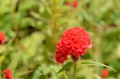 Красочные цветки в природе яркое cockscomb цветет красный цвет Стоковые Изображения RF