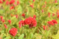 Красочные цветки в природе яркое cockscomb цветет красный цвет Стоковое Изображение RF
