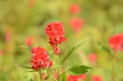 Красочные цветки в природе яркое cockscomb цветет красный цвет Стоковая Фотография RF