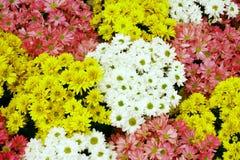 Красочные цветки зацветая, Gerbera, маргаритка Barberton стоковые фотографии rf