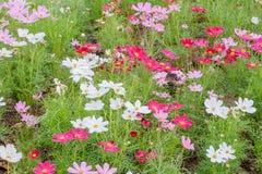 Красочные цветки космоса в поле Стоковые Изображения