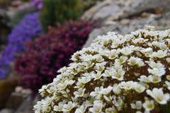 Красочные цветки на утесе Высокогорные заводы Стоковое Фото