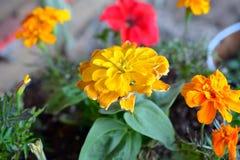 Красочные цветки ноготк в цветени Стоковые Изображения