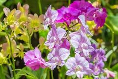 Красочные цветки, орхидеи Dendrobium Стоковые Фото