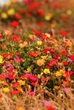 Красочные цветки портулака Стоковые Изображения RF