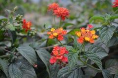Красочные цветки Tagetes Стоковые Фотографии RF