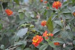 Красочные цветки Tagetes Стоковое фото RF