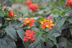 Красочные цветки Tagetes Стоковая Фотография