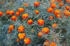 Красочные цветки Tagetes Стоковые Изображения RF