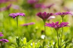 Красочные цветки Zinnia в саде Стоковая Фотография