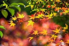 Красочные японские кленовые листы во время сезона momiji на саде Kinkakuji, Киото, Японии стоковые фотографии rf