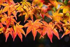 Красочные японские кленовые листы во время сезона momiji на саде Kinkakuji, Киото, Японии стоковое фото rf