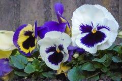 Красочные pansies в городском саде стоковое фото