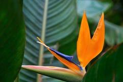 Красочные reginae Strelitzia цветка на темной тропической предпосылке природы листвы Форма оранжевого и голубого цветка необыкнов Стоковая Фотография RF