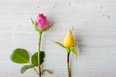 Красочные rosebuds на белой предпосылке Стоковые Изображения RF