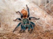 Красочный американский тарантул Стоковые Изображения RF