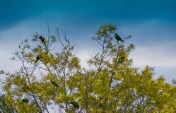 Красочный взгляд восточного eximius Rosella Platycercus Стоковая Фотография RF