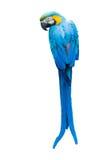 Красочный голубой попугай Стоковые Изображения RF