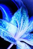 Красочный голубой Stargazer Lilly Стоковая Фотография RF