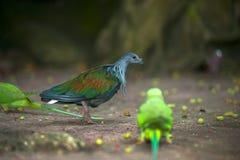 Красочный голубь гуляя вниз с мостоваой, взгляд со стороны Nicobar Стоковая Фотография RF