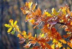 Красочный дуб выходит на предпосылку леса в солнечность стоковое изображение