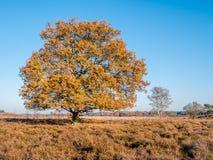 Красочный дуб осени в заповеднике Zuiderheide вереска, l стоковая фотография