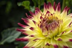 Красочный желтый и красный цветок георгина Стоковые Фотографии RF