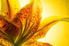 Красочный желтый и красный Stargazer Lilly Стоковые Фотографии RF