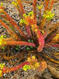 Красочный завод spurge моря в красный оранжевый зеленый расти на bea стоковое фото rf