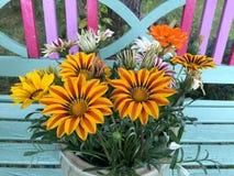 Красочный зацветать цветков Gazania Стоковые Фотографии RF
