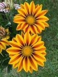 Красочный зацветать цветков Gazania Стоковое Изображение RF