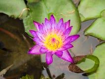 Красочный зацветать waterlily или цветок лотоса Стоковые Изображения RF