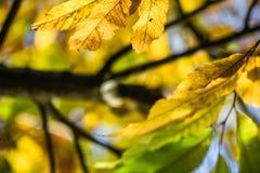 Красочный зеленый цвет каштана сезона падения осени выходит, творческая картина предпосылки Стоковое фото RF