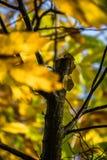 Красочный зеленый цвет каштана сезона падения осени выходит, творческая картина предпосылки Стоковые Изображения RF