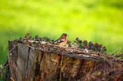 Красочный зяблик птицы сидя на цветя пне дерева на зеленом bac Стоковые Фотографии RF