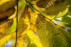 Красочный каштан сезона падения осени выходит, творческая картина предпосылки Стоковое фото RF